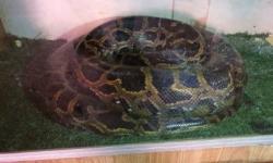Anaconda apreendida é da espécie Píton birmanesa e foi traficada para o DF