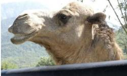 Quênia busca próximo vírus mortal entre dromedários