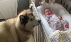 Cachorro gigante se encanta por menininha e cuida dela como uma babá