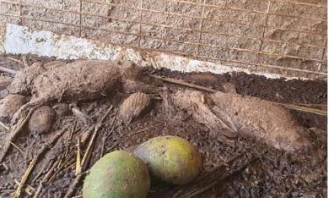 GO: PM encontra animais em decomposição em cativeiro; homem foi preso